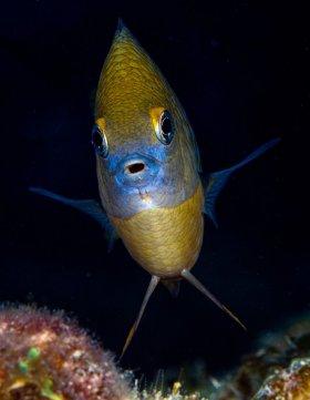 Damsel: Three-spot damselfish, St. Croix