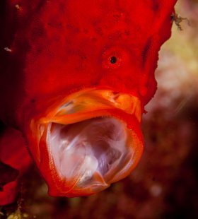 Froggy: Longlure frogfish, St. Kitts