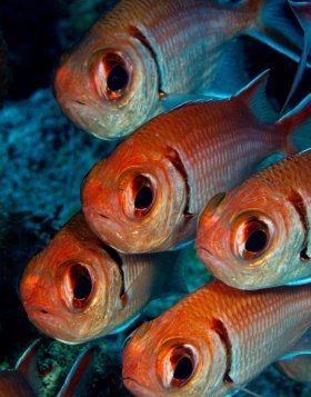 In formation: Blackbar soldier fish, St. Croix