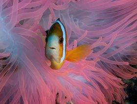 Pink on Pink: Pink anemonefish in pink anemone, Palau