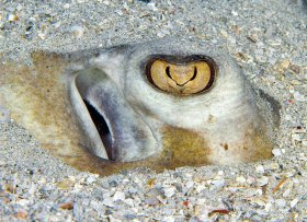 Sting eye: Eye of a southern stingray always watchful, even when buried.