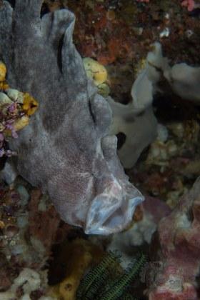 Giant Frogfish, Anilao 2017