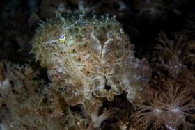 Cuttlefish, Komodo 2017