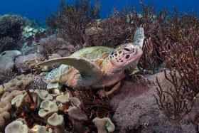 Green Sea Turtle,  Komodo 2017