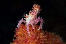 Candy Coral Crab, Anilao 2017