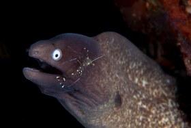 White Eye Eel w/Cleaner Shrimp, Anilao 2017