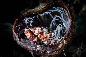 Clown Crab in Tube Anemone, Bali 2017
