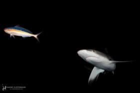 A grey reef shark turning towards potential prey. Fakarava, French Polynesia