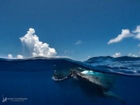 A whale shark feeding on bonito eggs near the surface. Isla Mujeres, Mexico