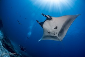 A giant manta ray and diver in La Paz, Mexico.
