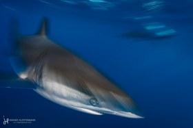 A silky shark shot with a slow shutter. Cabo San Lucas, Mexico