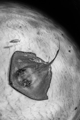 A southern stingray exploring the moon. Grand Cayman