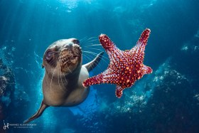 A California sea lion playing with a starfish. They pick them up from the bottom and then play catch! La Paz, Mexico
