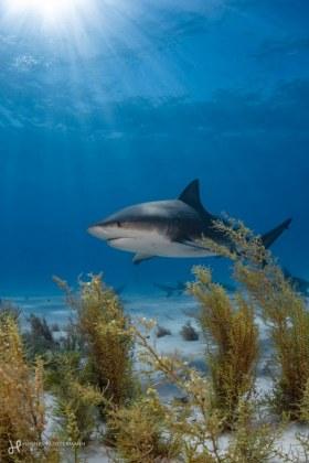 Bull shark cameo at Tiger Beach in the Bahamas.