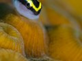 A Cayman cleaner goby takes a very brief siesta to have his picture taken. Grand Cayman