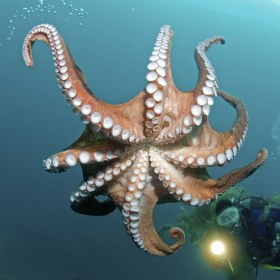 Giant Octopus Dofleini, Sea of Japan, Russia