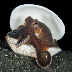 Coconut Octopus, Lembeh, Indonesia