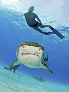 Tiger Shark, Tiger Beach, Bahamas