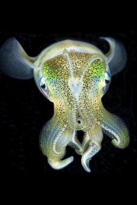 Alien. Squid, Malapascua, Philippines