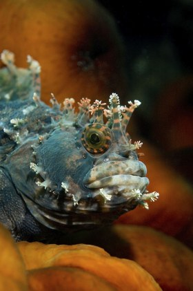 Fringed Blenny, Sea of Japan, Russia
