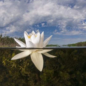 Freshwater Lily, Astrakhan Region, Russia