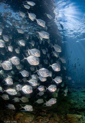 Lookdowns/Moonfish Under the Pier, S. Florida