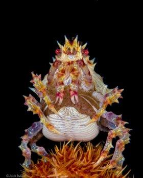 A Pregnant Candy Crab, Bali