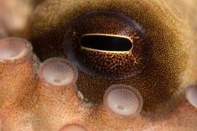 Octo Eye