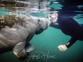 Curiosity- One of my first successful shots and still one of my favorites. A baby manatee was as curious about my wife Ann, as she was about itTaken at Kings Spring in Crystal River Florida 2007..