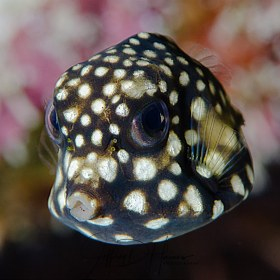 Smooth Trunkfish: Juvenile.  Cozumel 2017.