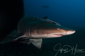 Sand Tiger:  Taken at the bow of the Carib Sea wreck in North Carolina 2012.