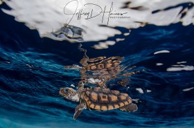 Release: A baby loggerhead's 1st ocean swim after being given a lift to open water.
