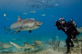 Tiger Beach: A super-model demands attention. Tiger Shark at Tiger Beach in the Bahamas.