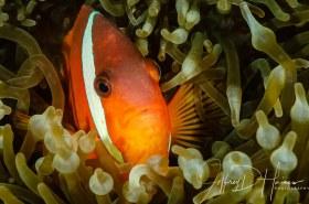 Anemonefish: Fiji 2014.