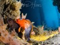 Blenny Love: Close focus wide angle. Hairy Blenny Courting Behavior. The male displays the bright orange-red head and distinct body banding. Blue Heron Bridge May 2017.