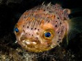 Balloonfish: Tell me more about my eyes. Taken at BHB 2012.