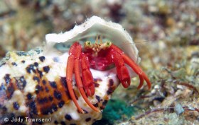 Red Reef Hermit Crab
