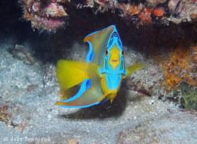 Queen Angelfish Juvenile