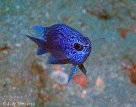 Purple Reeffish Juvenile