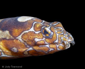 Clown snake eel, Bali. © Judy Townsend, All Rights Reserved.