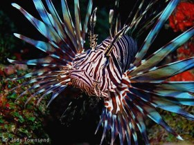 Lionfish, Deerfield Beach, FL. © Judy Townsend, All Rights Reserved.