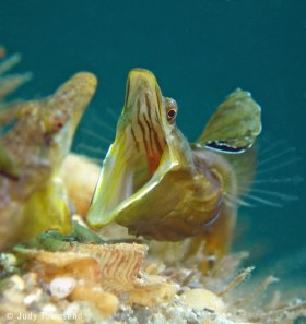 Pike blenny, Riviera Beach, FL. © Judy Townsend, All Rights Reserved.