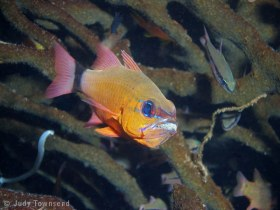 Ring-tail cardinalfish, Bali. © Judy Townsend, All Rights Reserved.
