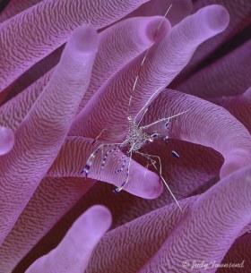 Spotted Cleaner Shrimp, Bonaire