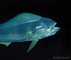 Dolphinfish, Boca Raton, FL