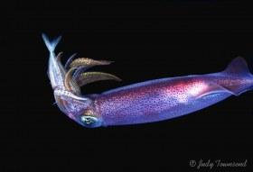 Caribbean Reef Squid Eating Fish, West Palm Beach, FL
