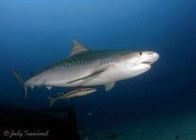 Tiger Shark, Jupiter, FL