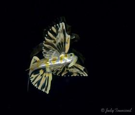 Atlantic Flyingfish, West Palm Beach, FL