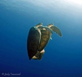 Mating Green Turtles, Boca Raton, FL