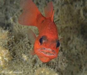 Cardinalfish with Eggs, Blue Heron Bridge, FL